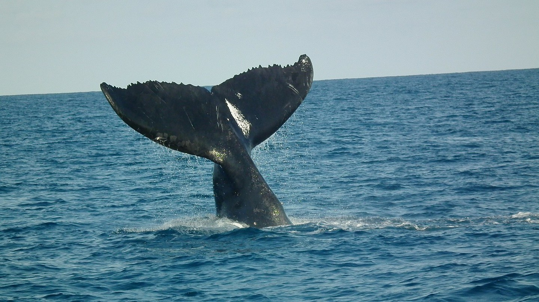 Humpback whale © Pixabay