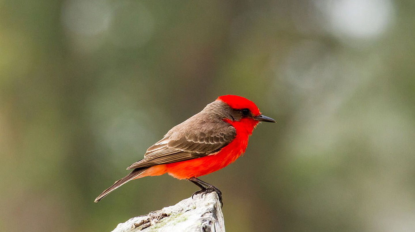 Vermilion Flycatcher | © James Diedrick / WikiCommons