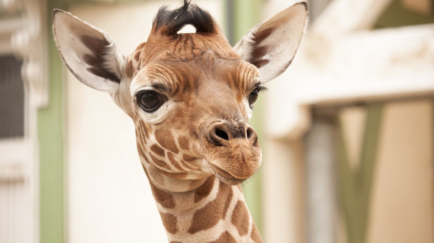 A young giraffe at Artis | © Kitty Terwolbeck / Flickr