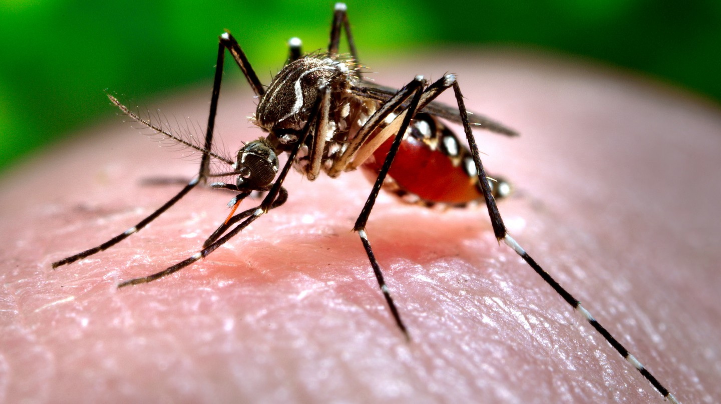 The Aedes aegypti mosquito, the main vector of yellow fever in Brazil