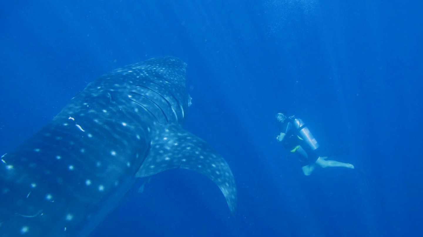Whale shark diving in Papua | © Marcel Ekkel / Flickr