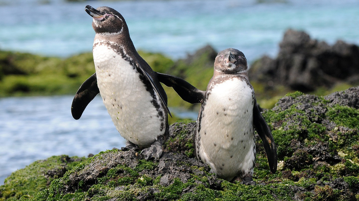 Galapagos Penguins | ©zpics /Flickr