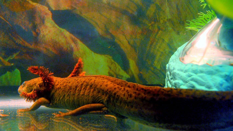 The axolotl    © Jan Tik / Flickr