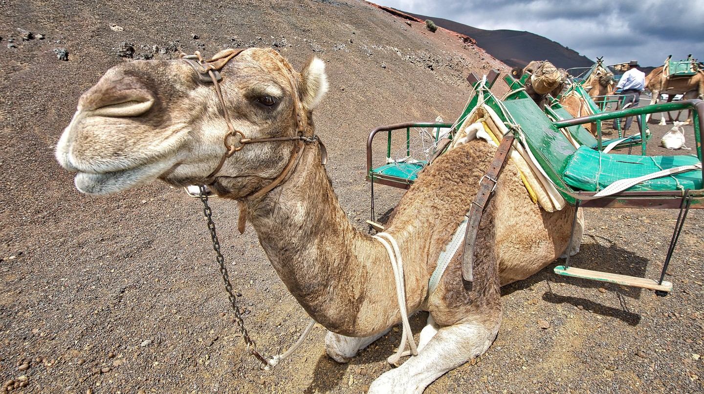 Camels could soon be in the IUCN Red list | © nikolabelopitov / Pixabay