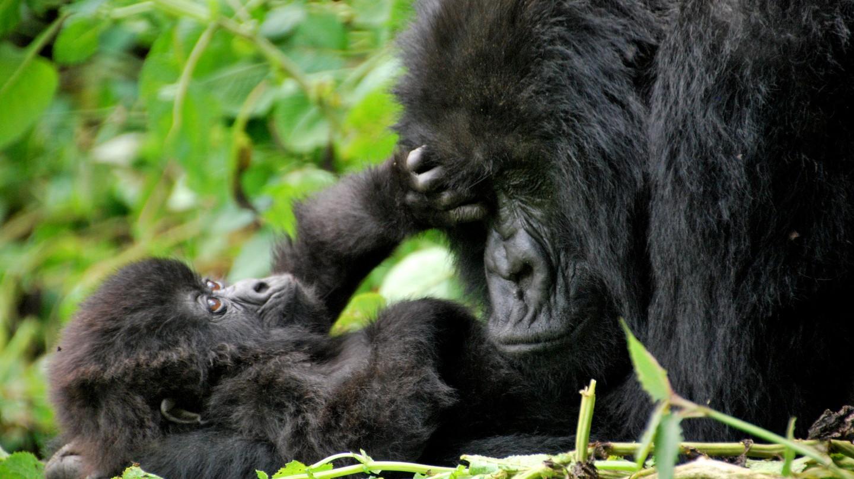 Gorillas in Volcanoes National Park | © Carine06 / Flickr