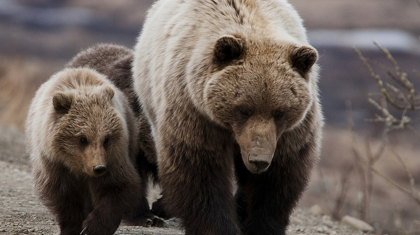 "<a href=""https://www.flickr.com/photos/denalinps/5728173840/"" target=""_blank"" rel=""noopener noreferrer"">Grizzly bears 