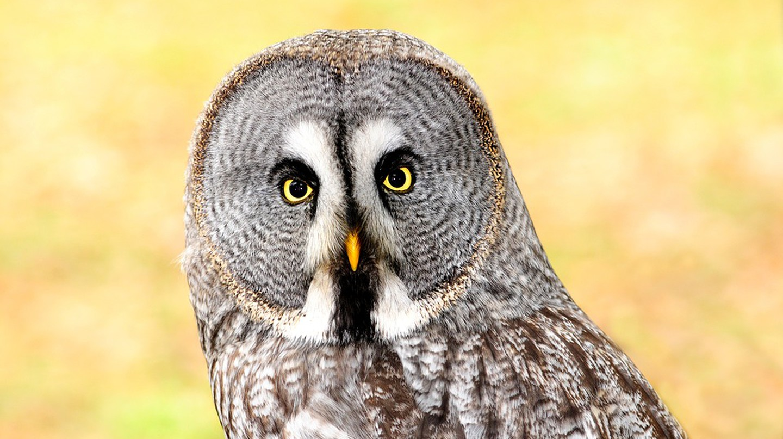 Lapland owl | © TonW/Pixabay