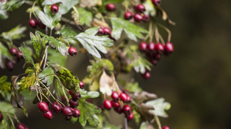 "<a href = ""https://www.pexels.com/photo/berries-forest-nature-red-berries-18087/""> Wild berries | © karsten madsen/Pexels"