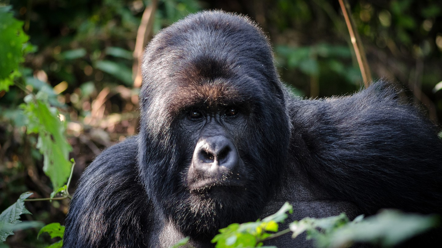 Mountain gorilla in Volcanoes National Park | © Henrik Palm / Flickr