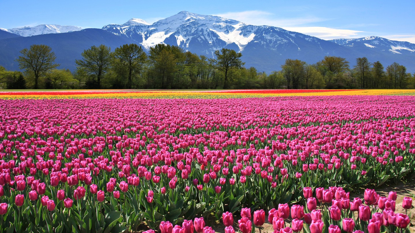 In bloom in British Columbia | © Hannamariah / Shutterstock