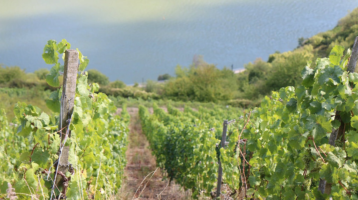 Vines in the Moselle region | © Real Name Given/Flickr