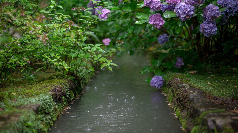 Hydrangeas in bloom in early summer   © George Alexander Ishida Newman/Flickr