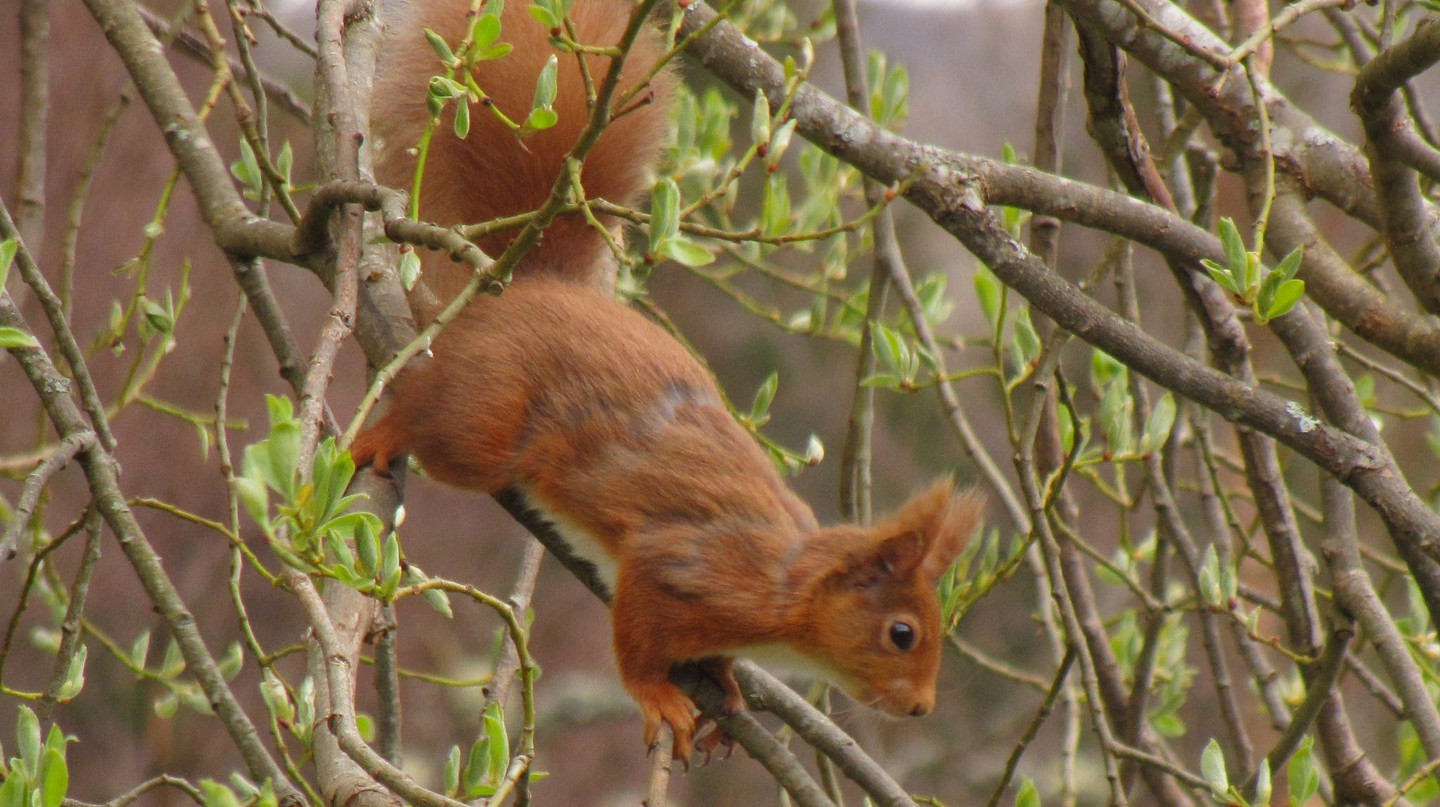 Red Squirrel, Highland Perthshire | © Courtesy of the Author