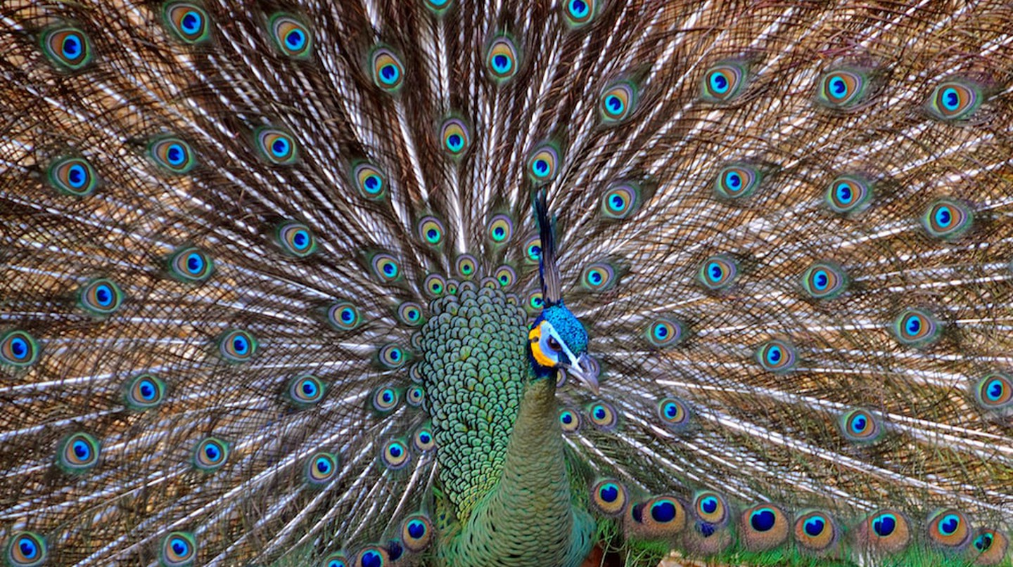 A peacock at Chiang Mai Zoo | © Dennis Jarvis/Flickr