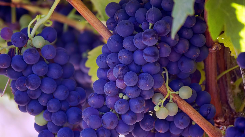 Wine harvest|© Bill Williams / Unsplash