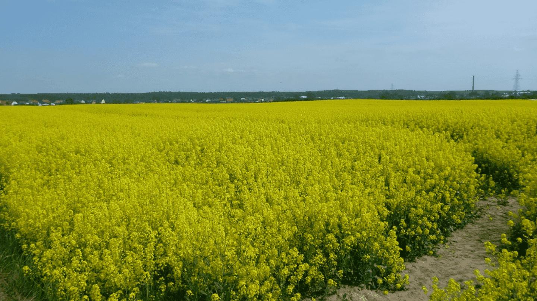 Yellow fields of charming Kokoszkowy   © Northern Irishman in Poland