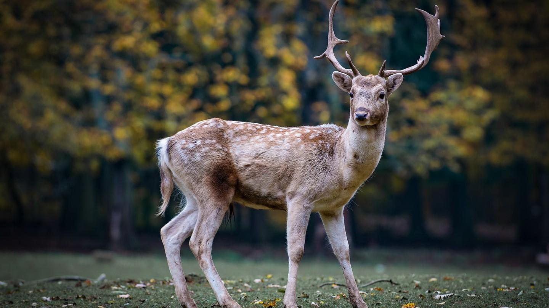 https://pixabay.com/en/nature-roe-deer-forest-fallow-deer-2634729/