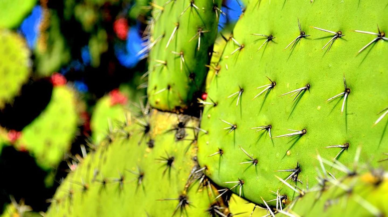 Nopal cactus / flickr | © Marysol*