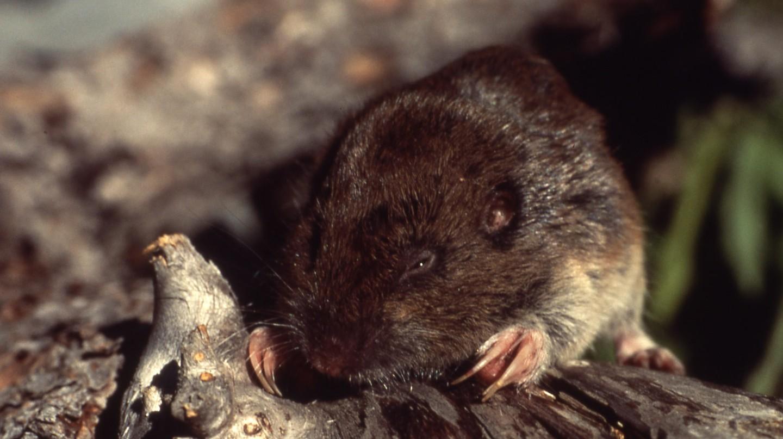 Australian Tree Rat | © Gopher/WikiCommons