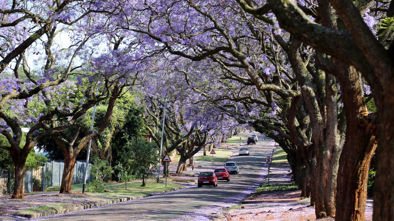 Jacarandas line the streets of Pretoria | © flowcomm / Flickr