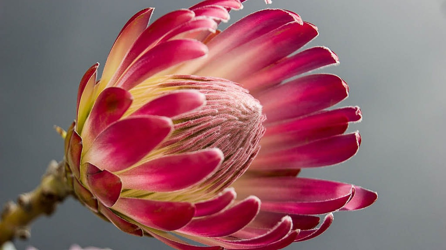The protea comes in many shapes and sizes | Corgasbeek/Pixabay