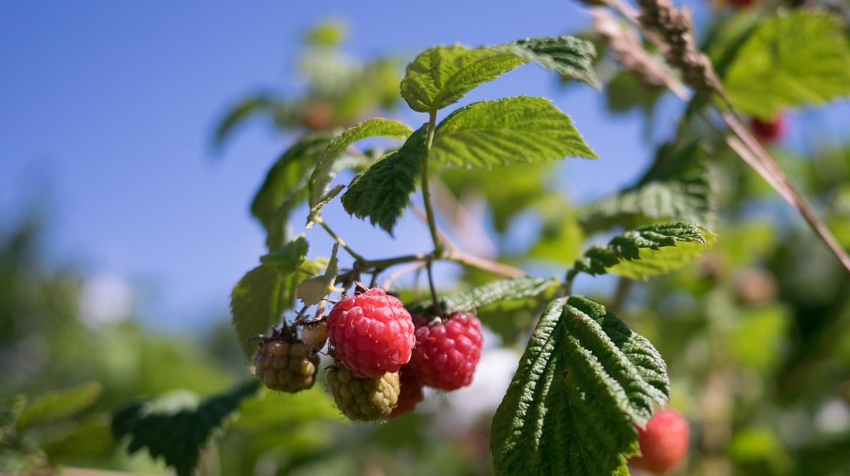 Rasberries |© Taavi Randmaa / Flickr