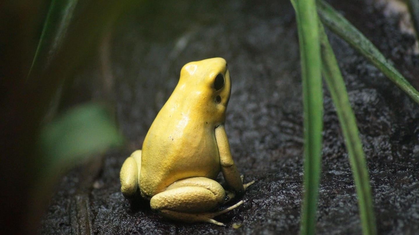 Golden frog © Ruben Engel / Unsplash