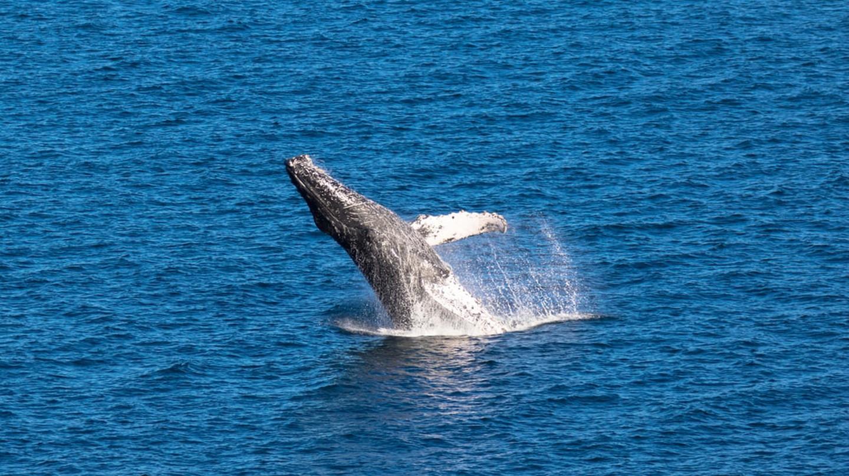 Breaching Humpback whale in Baja California, Mexico   © Ian Kennedy/Shutterstock