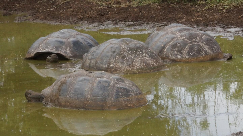 Galapagos Islands tortoises | © Arnie Papp / Flickr
