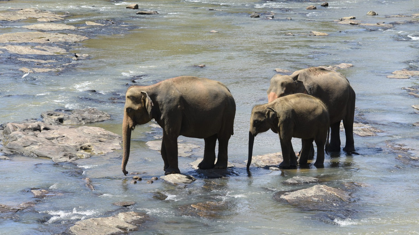 Sri Lankan elephants cooling off | ©Ted Drake / Flickr