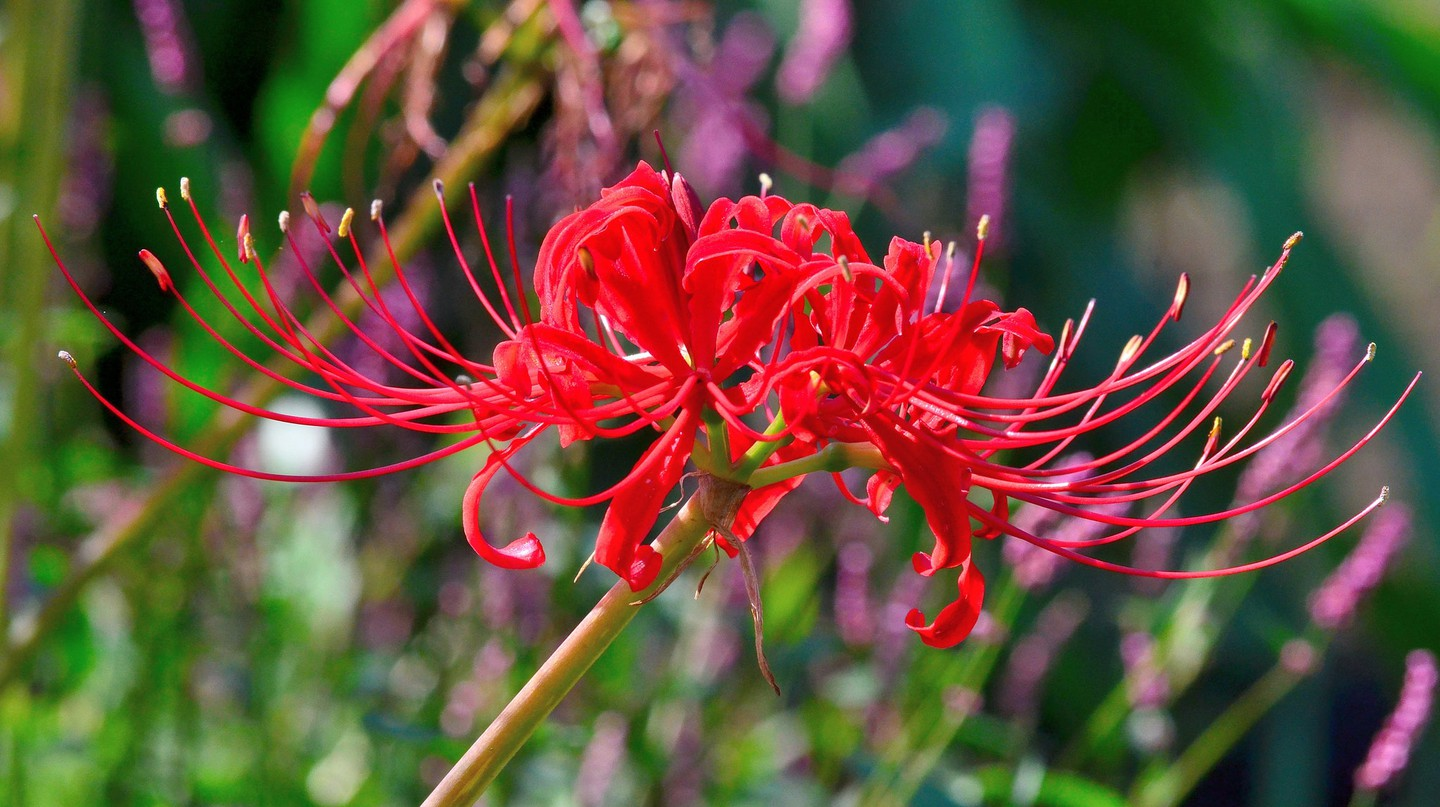 Red spider lily, the flower of final partings | © Toshihiro Gamo / Flickr