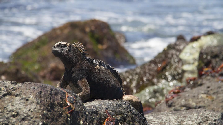 Marine iguana | © Vibeke Johannessen / The Viking Abroad