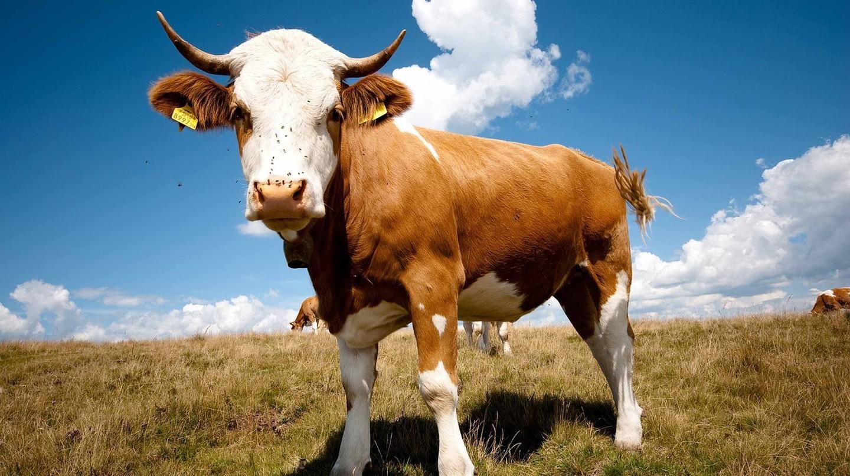 Bull   © HCE70 / Pixabay