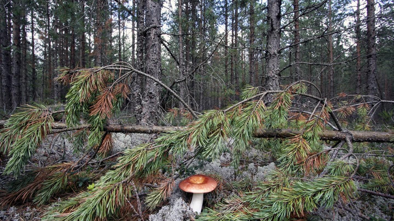 Conifer forest in Estonia |©sara/Flickr
