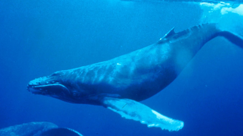 Humpback Whale | via WikiCommons