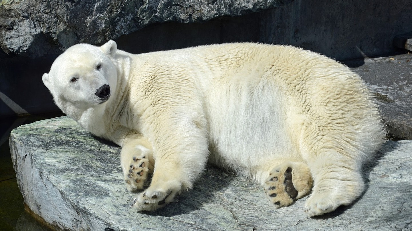 See polar bears at the zoo | © Schlaup / Pixabay