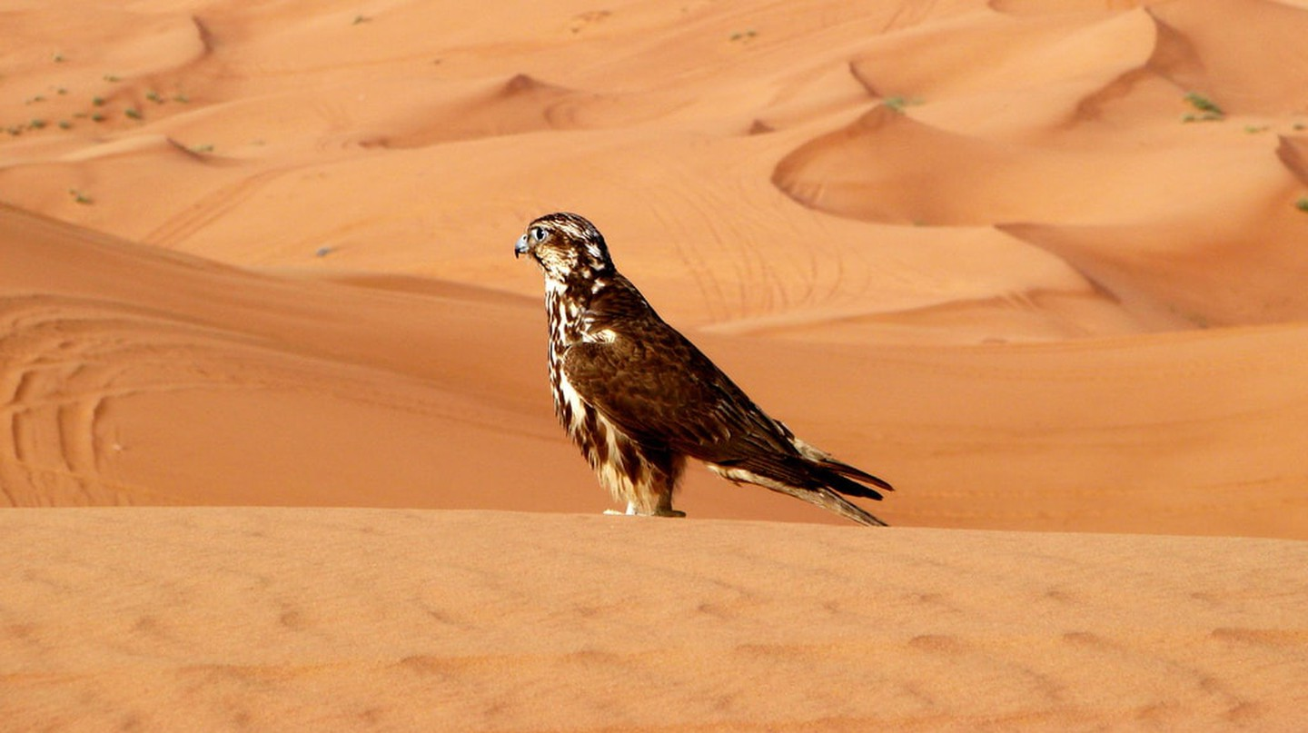 Falcon in the Sharjah desert