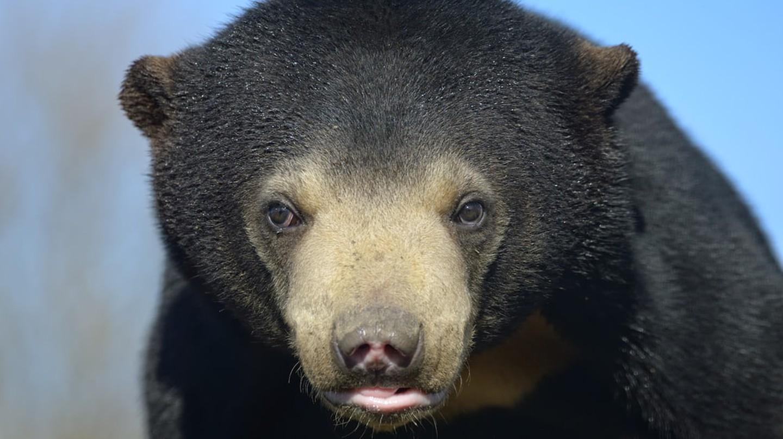 A sun bear   ©  Ryan Ladbrook/ Shutterstock.com