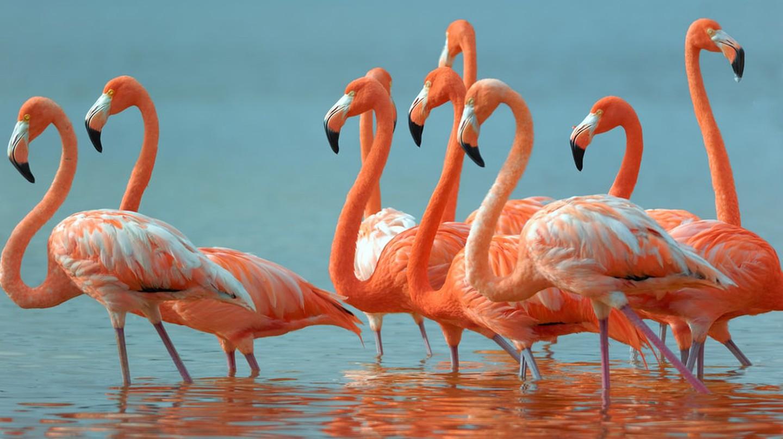 Mexico Greater Flamingoes | © zixian / Shutterstock
