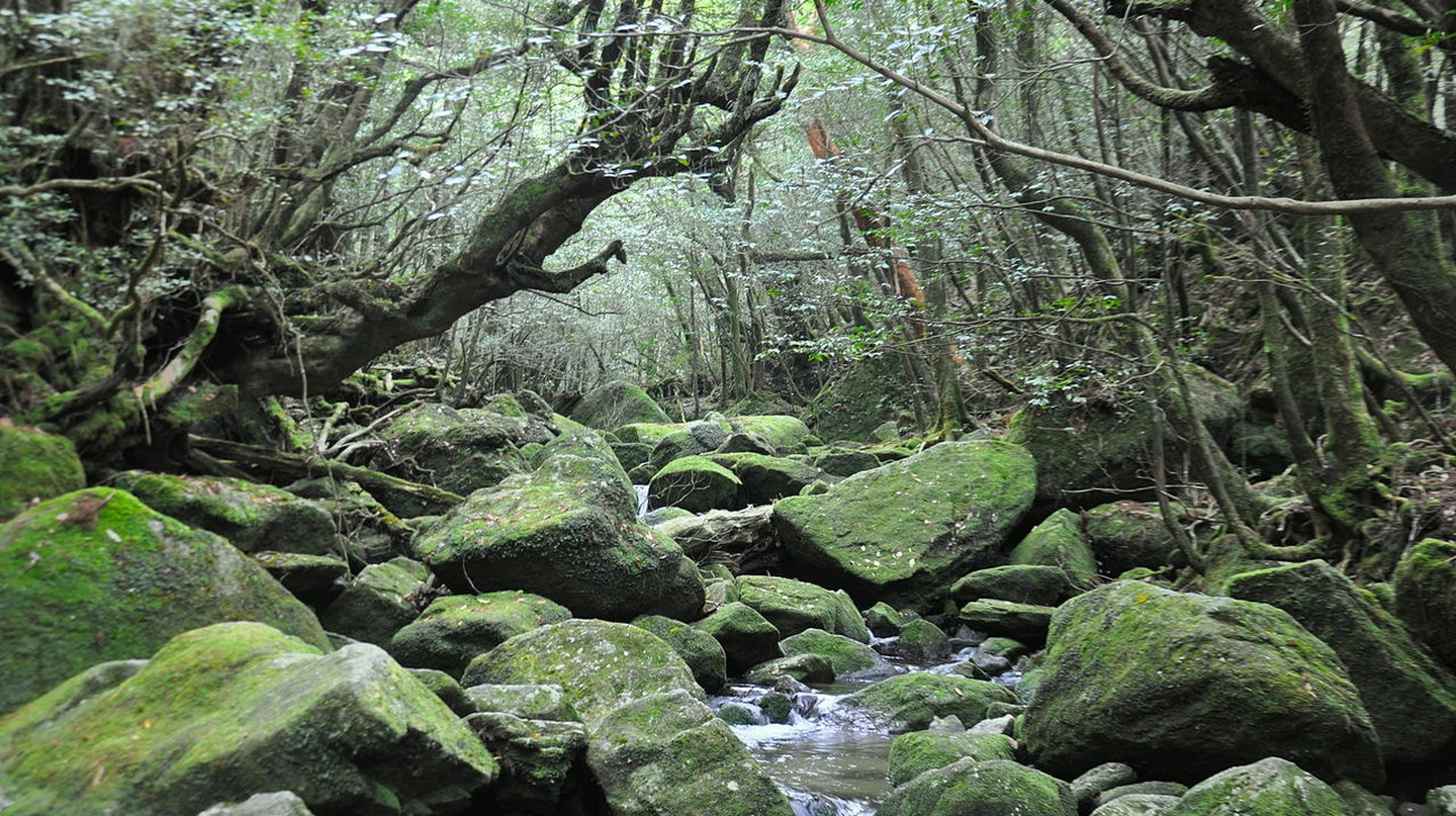 Yakushima Forest/courtesy of BenedettaR via Wiki Commons