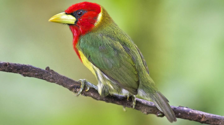 Red-headed barbet in Colombia | © Dave Wendelken / Flickr