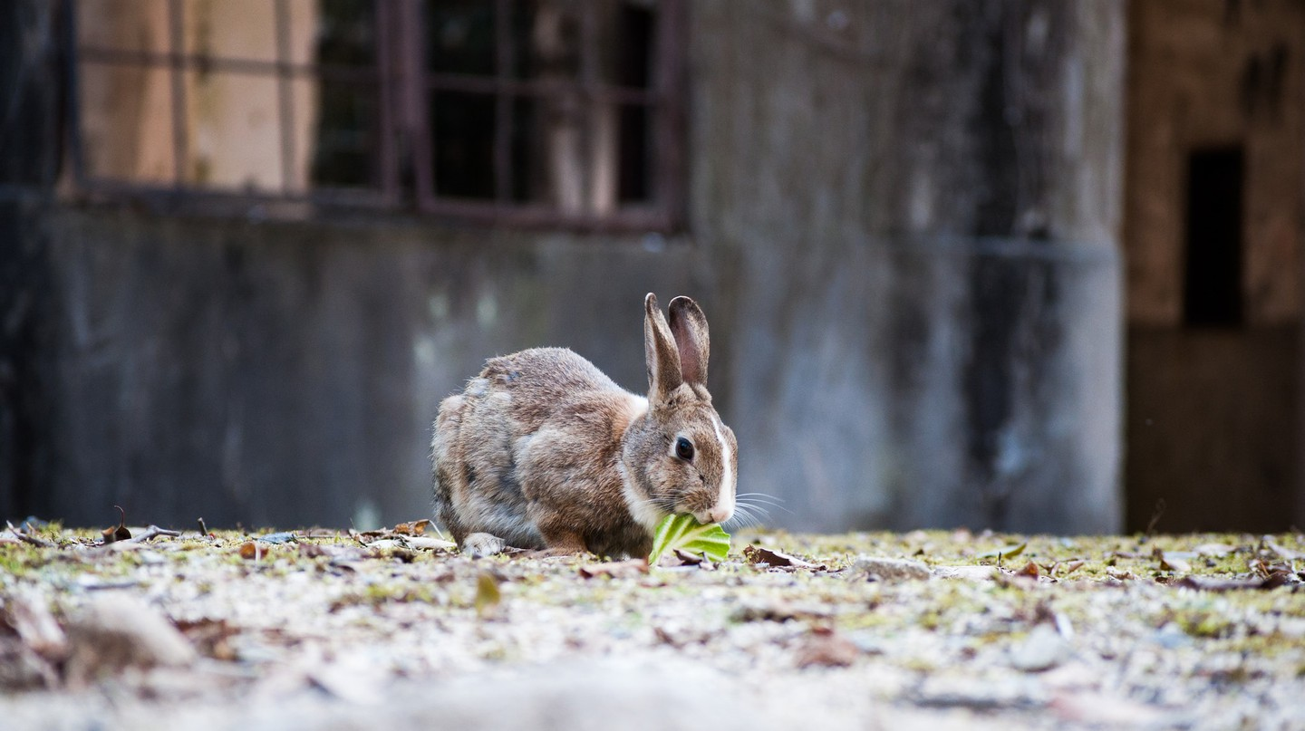 Okunoshima(Rabbit Island) | © c_msmt/ Flickr
