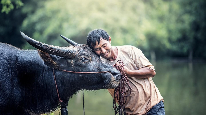 A Man and his Water Buffalo | © Sasint/Pixabay