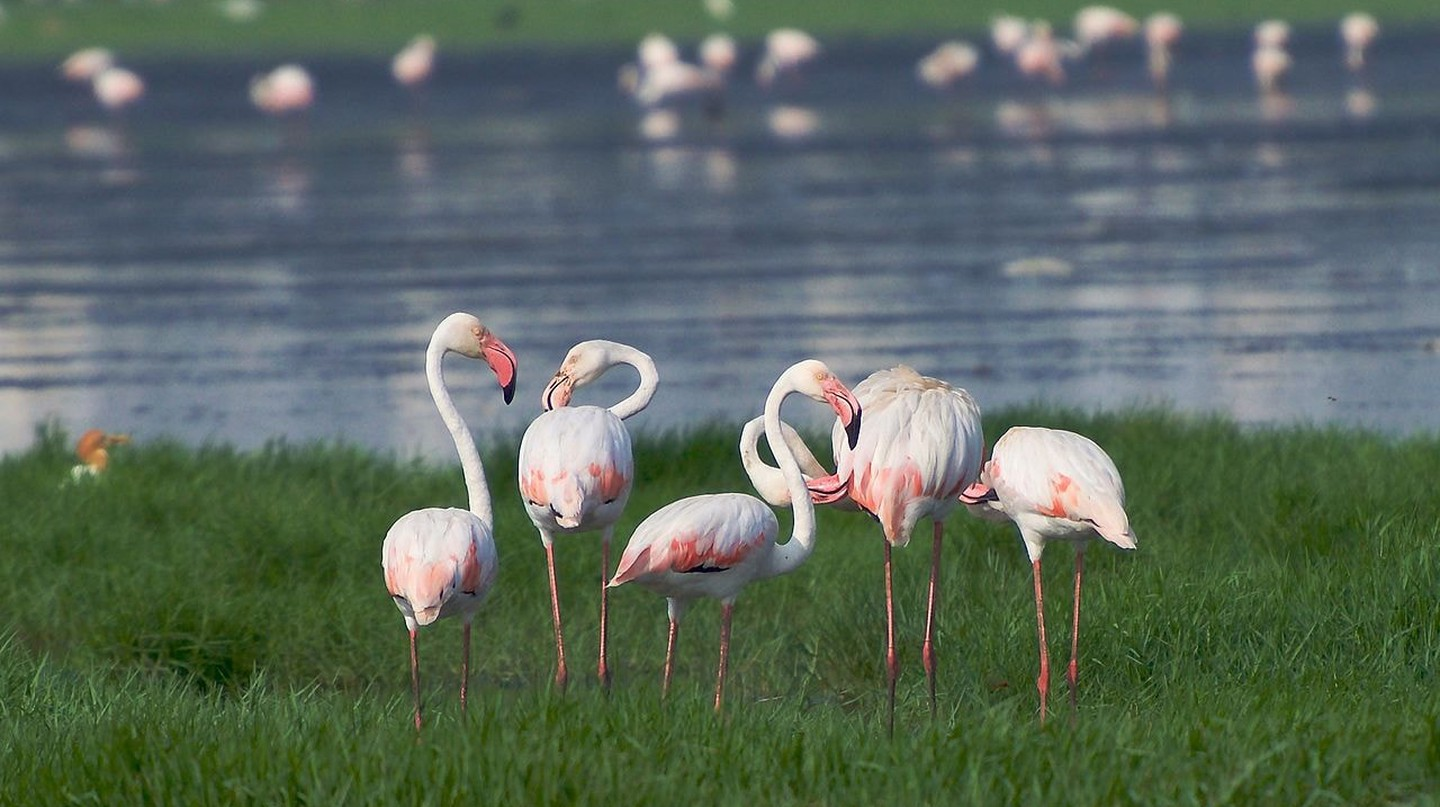A group of greater flamingos at the Pallikaranai Marshlands