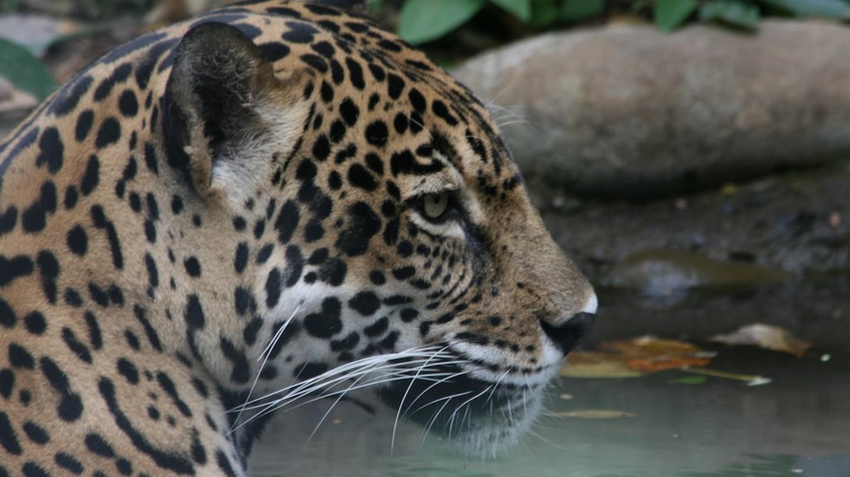 Go green, save the jaguars | © Marco Zanferrari/Flickr