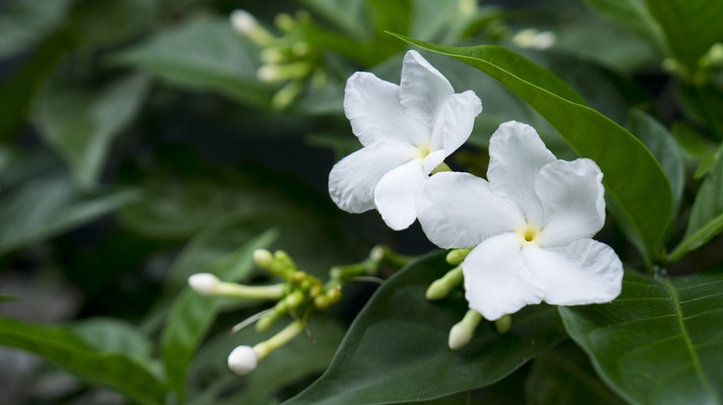 Jasmine Flower is a famous Chinese song | © anhnhidesign / Pixabay