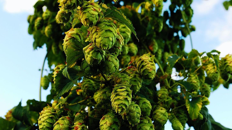 Glorious hops © Kalasoft / Pixabay
