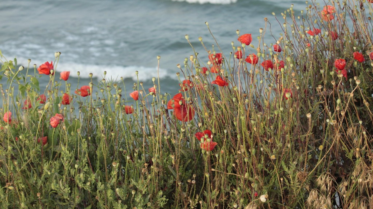 Poppies in Vama Veche I © Georgeta Gheorghe