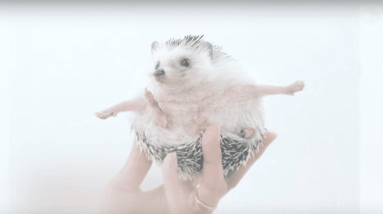 Meet Azuki, The Cutest Hedgehog From Japan |  © BoredPandaAnimals/ Youtube
