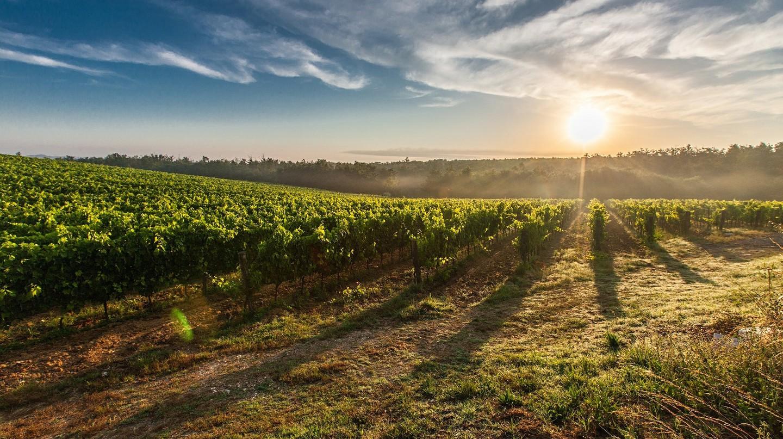 Sun setting over a vineyard